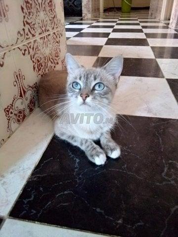 chat moitié siamois femelle  - 1