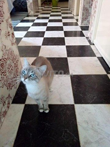 chat moitié siamois femelle  - 2