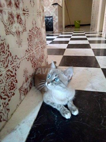 chat moitié siamois femelle  - 3