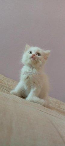 Chat blanc  - 3