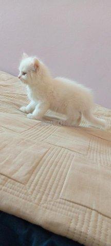 Chat blanc  - 4