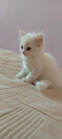 Chat blanc  - 1