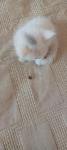 Chat blanc  - 5