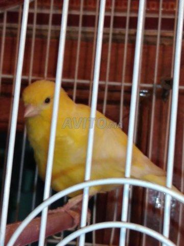 Canards femelle  - 1