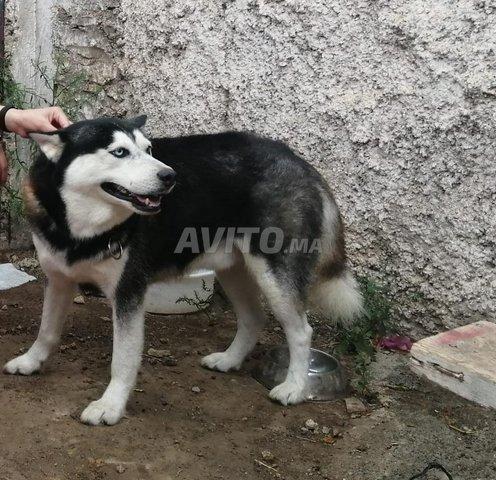 chien husky - 2