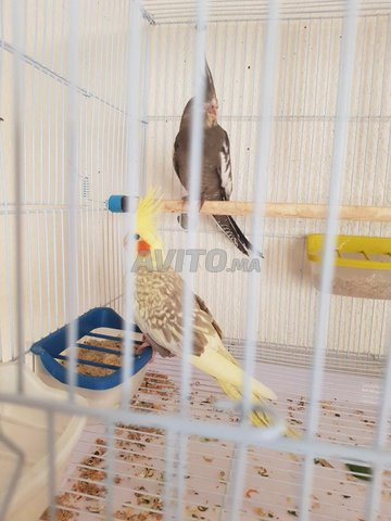 oiseaux calopsite - 1