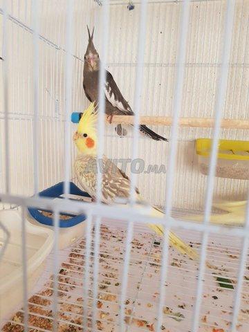oiseaux calopsite - 2