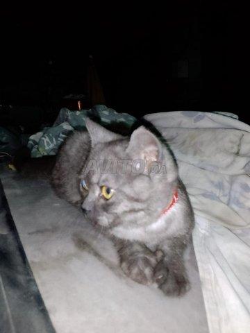 Beau chat à vendre avec type de cheveux courts  - 3