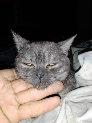 Beau chat à vendre avec type de cheveux courts  - 2