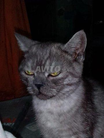 Beau chat à vendre avec type de cheveux courts  - 1