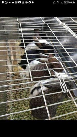 lapins a vendre - 1