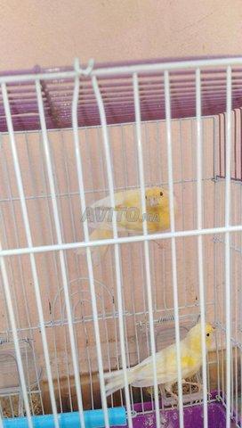oiseaux canari  - 2