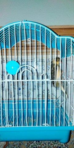 oiseaux canari  - 3