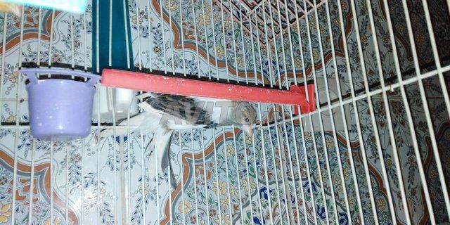 oiseaux canari  - 4