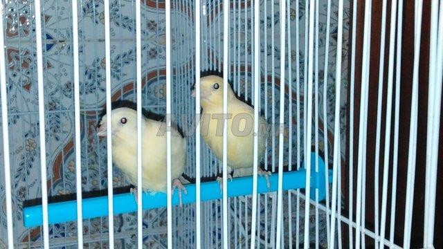 oiseaux canari  - 5
