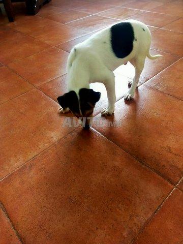 Dog jack Russel - 3