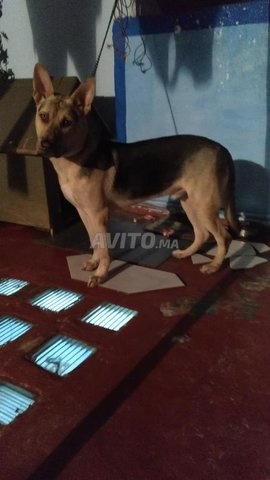 كلب حراسة جد قوي و مدرب - 2