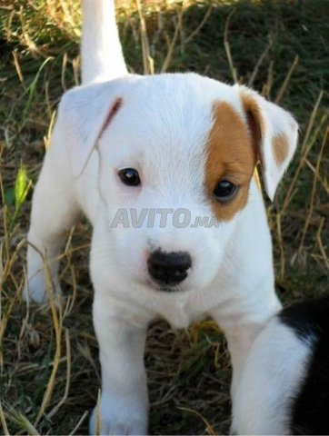 Top Chiots jack rusel race pure - 2