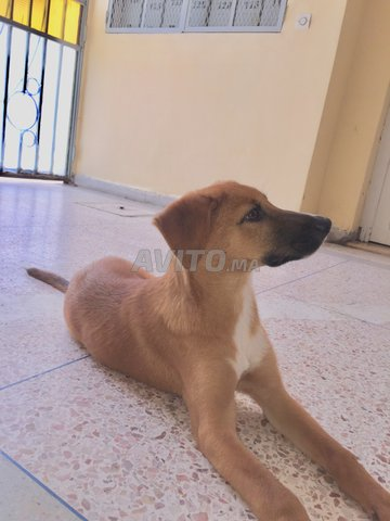 chien malinois croisé labrador - 2
