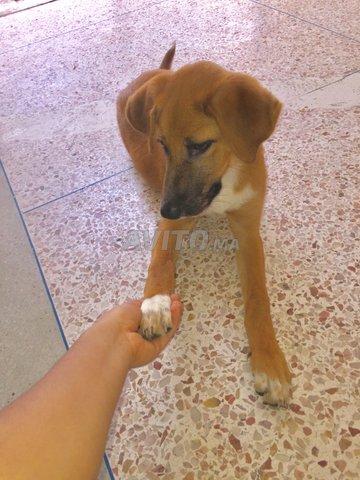 chien malinois croisé labrador - 1