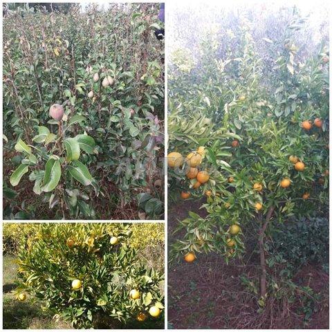 arbres fruitiers  - 4