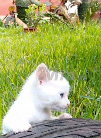 Chat angora salé et rabat - 2