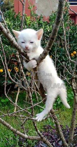 Chat angora salé et rabat - 3
