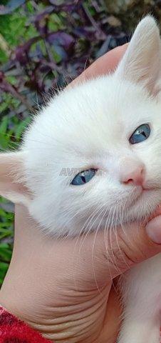 Angora turc pur race chez just4you animal - 1