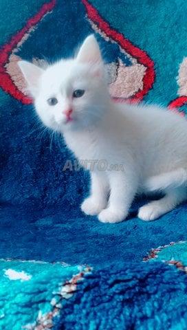 Chat angora salé et rabat - 1