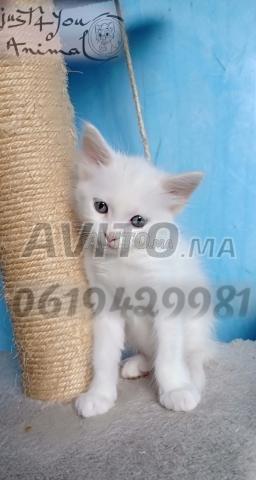 Angora turc pur race chez just4you animal - 3