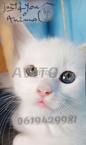 Angora turc pur race chez just4you animal - 2