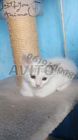 Angora turc pur race chez just4you animal - 4